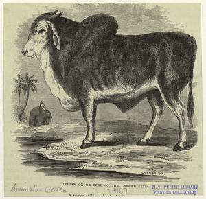 Indian ox or zebu or the larger kind.