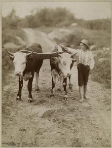 [Boys leading an ox team.]