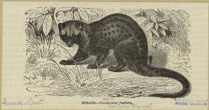 Musang -- Paradoxius fasciatus.