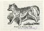 Prairie or barking wolf