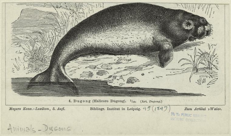 Dugong (Halicore dugong).