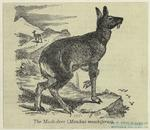 The musk-deer (Moschus mo