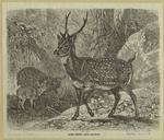 Axis Deer -- Axis Maculata.