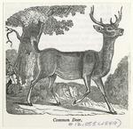 Common deer.