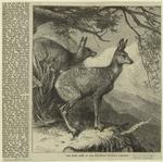 The Musk Deer At The Zoological Society'S Gardens.