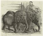 Pigmy elephants, at the Surrey Zoological Gardens