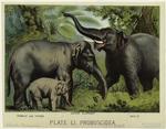 Asiatic elephant.