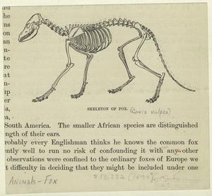 Skeleton of fox.