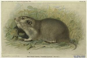 Gray pocket gopher, Thomomys talpoides (Richardson).