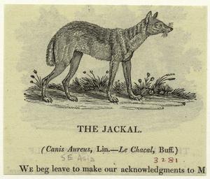The jackal.