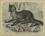 Jackal (Canis aureus).