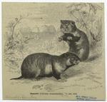 Hamster (Cricetus frument