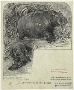 Hippopotamus and family.