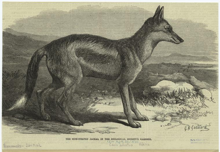 The side-striped jackal in the Zoological Society's gardens.