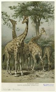 South African giraffes.