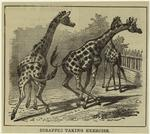 Giraffes taking exercise.