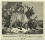 Cachemire Goats.