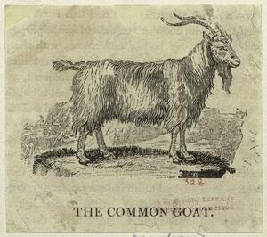 The common goat.