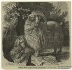 Angora Goat (Capra Hircus Angorensis).
