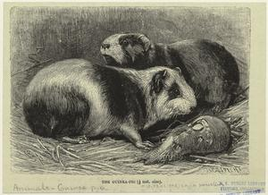 The guinea-pig.