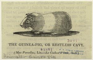 The guinea-pig, or restless cavy.