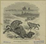 Striped hyænas of the Sah