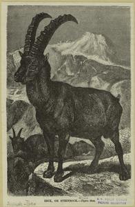 Ibex, or Steinbock-Capra ibex.