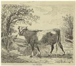 Vache et jeune taureau.