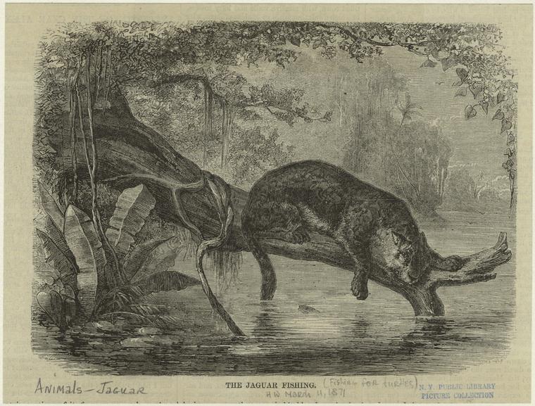 The jaguar fishing.