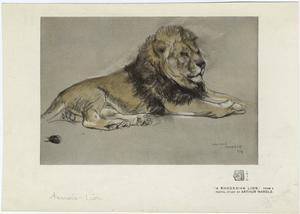 A Rhodesian lion.