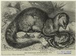 The crab-eating mongoose.