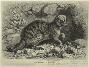 The meerkat.