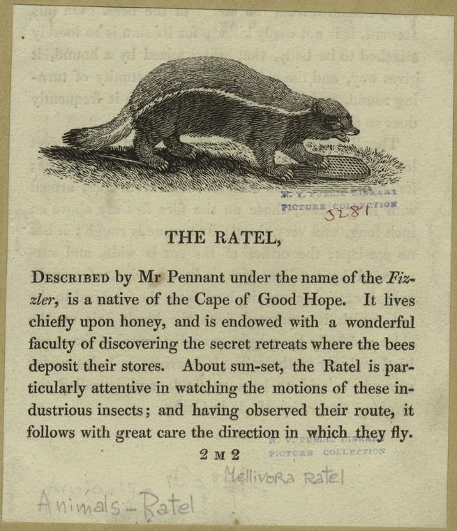 The ratel.