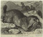 The Alpine Marmot.