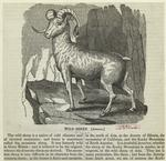 Wild sheep (Argali).