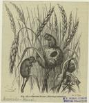 Harvest mouse (Micromys m