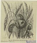 Harvest Mouse (Micromys Minutus).
