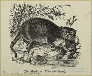 The musk-rat (Fiber zibethicus).