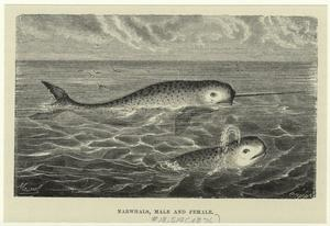 Narwhals, male and female.
