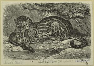 Ocelot -- Leopardus pardalis.