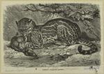 Ocelot -- Leopardus parda