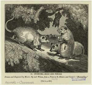 Opossums--male and female.