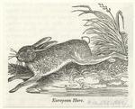 European Hare.