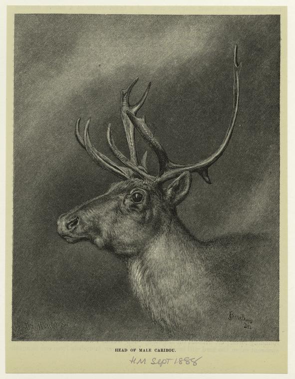 Head of male caribou.
