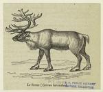 Le renne (Cervus tarandus