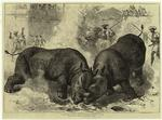 A rhinoceros fight at Bar