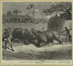 Rhinoceros fight at Barod