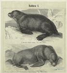 Seebär (Otaria Ursina) ; Seelöwe (Otaria Stelleri).