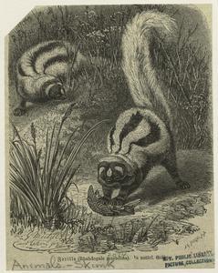 Zorilla (Rhabdogale mustelina).