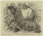 Kuda-Ayer, Or Malayan Tapir -- Tapirus Malayánus.